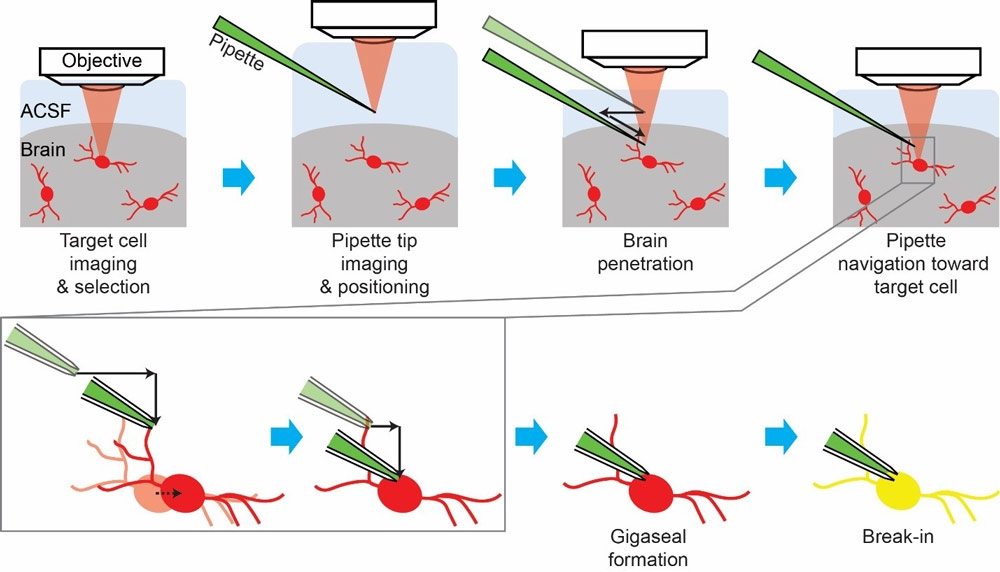 Figure 2. Stages in the cell-targeted patch-clamping process. ACSF = artificial cerebrospinal fluid; red = fluorescent cells; green = patch pipette filled with fluorescent dye; light red = laser for two-photon imaging; black solid arrows = pipette movements; black dotted arrow = cell movement; yellow = target cell filled with the fluorescent dye from the pipette.